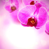 Pink orchid blossom Royalty Free Stock Photo