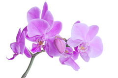 Pink orchid blossoms royalty free stock photos