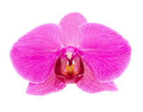Pink orchid. With blossoms and buds isolated on white background Stock Photo