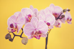 Pink orchid blossoms Stock Photography
