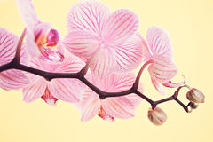 Pink orchid blossoms Stock Images