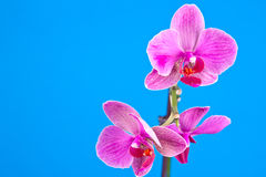 Pink orchid  on blue Stock Photos