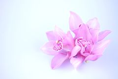 Pink orchid on blue background Stock Images