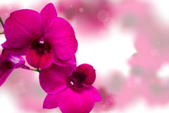 Pink Orchid. Pink Orchid  on blur background Stock Images