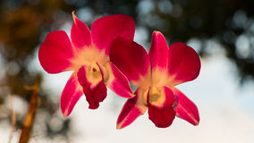 Pink orchid on blur background Royalty Free Stock Images