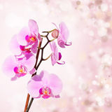 Pink orchid on blured background Royalty Free Stock Images