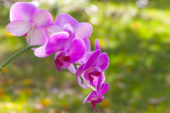 Pink orchid on blurred green background Royalty Free Stock Photo
