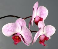 Pink orchid bouquet. Beauty pink orchid bouquet, isolated royalty free stock photo