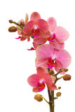 Pink orchid branch Stock Image