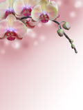 Pink Orchid Branch with abstract bokeh background Royaltyfria Foton