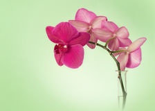 Pink orchid branch against green background Royalty Free Stock Photo