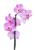 Pink  orchid branch close up Stock Images