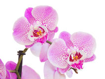 Pink  orchid branch close up Stock Photos