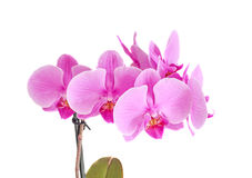 Pink orchid branch flower, phalaenopsis isolated on white backgr Stock Image