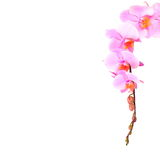 Pink orchid branch, isolated Stock Images
