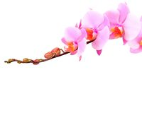 Pink orchid branch, isolated Stock Photo