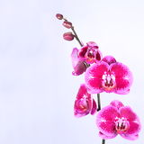 Pink orchid branch, isolated Royalty Free Stock Photography
