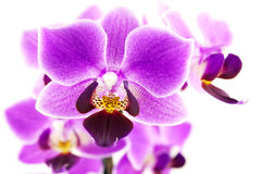 Pink Orchid branch Royalty Free Stock Image