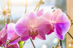 Pink orchid branch Stock Images