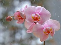 Pink orchid branch before winter-window. Pink orchid branch with bud before winter-window, snowfall Royalty Free Stock Photos