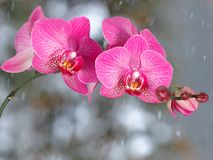 Pink orchid branch before winter-window. Pink orchid branch with buds before winter-window, snowfall Royalty Free Stock Photos