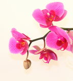 Pink orchid with a bud Stock Images