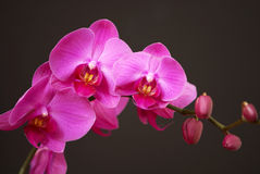 Pink orchid with buds Royalty Free Stock Photos