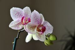 The pink orchid with buds royalty free stock images