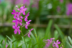Pink Orchid. And buds with green background Stock Image
