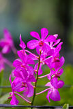 Pink Orchid. And buds with green background Royalty Free Stock Photography