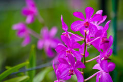 Pink Orchid. And buds with green background Stock Photos