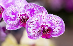 Pink orchid. Close-up of pink orchid Stock Image