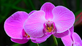 Pink Orchid close up stock video