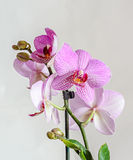Pink orchid close up branch flower, isolated on white background Royalty Free Stock Photography