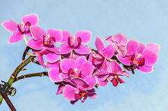 Pink orchid close up branch flowers,  on blue sky Stock Photos