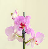 Pink orchid close up branch flowers, isolated on white background Royalty Free Stock Images