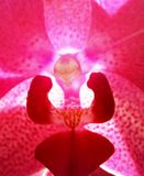 Pink Orchid Close-up Stock Photo