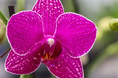 Pink Orchid closeup Stock Photography