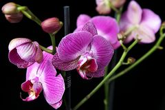 Pink orchid closeup Royalty Free Stock Photography