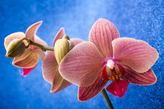Pink orchid on colored background. Royalty Free Stock Photos