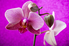 Pink orchid on colored background. Stock Photography