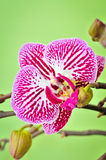 Pink Orchid. Detail of a pink orchid Royalty Free Stock Photography