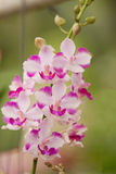 Pink Orchid , Doritis pulcherrima Royalty Free Stock Image