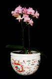 Pink Orchid in dragon Pot Royalty Free Stock Photos