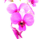 Pink Orchid Flower Royalty Free Stock Image