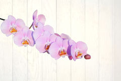 Pink orchid flower against white wood planks Royalty Free Stock Images