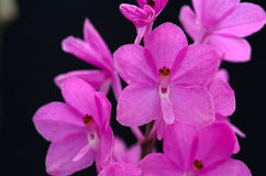 Pink orchid flower. Ascocentrum ampullaceum close-up Pink orchid flower Stock Photo