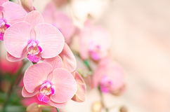 Pink orchid flower Royalty Free Stock Photos