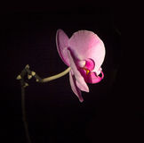 Pink orchid flower on black background Royalty Free Stock Image