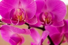 Pink orchid close up royalty free stock images
